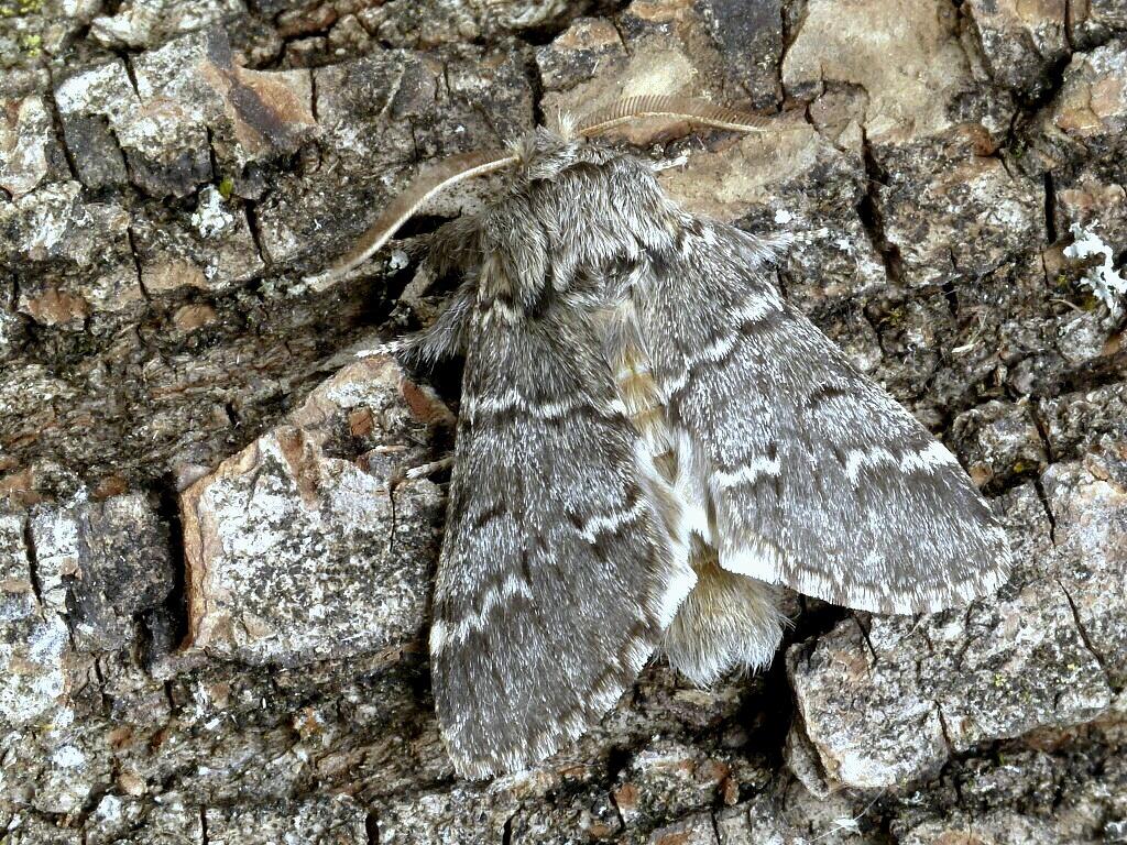 Drymonia_ruficornis_1901A.jpg